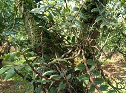 仿野生种植铁皮石斛