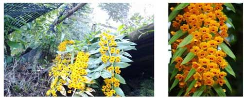 金兰石斛(黄草石斛)植株与花叶图片