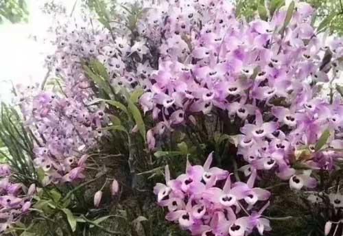 石斛盆栽图片
