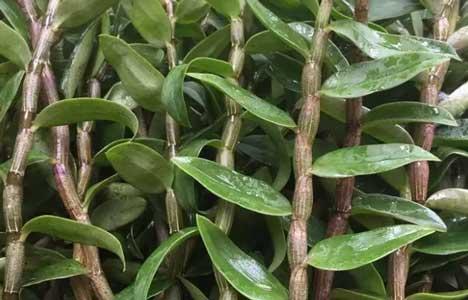 河南铁皮石斛种植图片