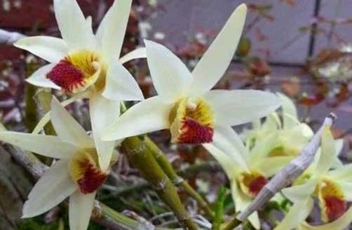 尖刀唇石斛花图片