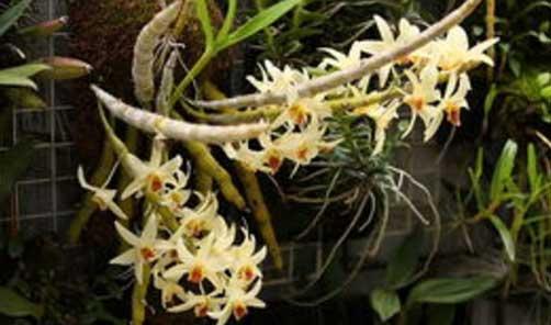 尖刀唇石斛盆栽图片