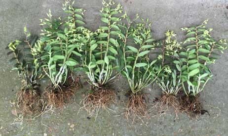 铁皮石斛扦插苗