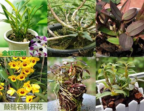 斛友分享的铁皮石斛盆栽图片