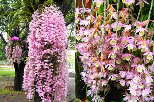水草石斛的花很漂亮,具有很高的园艺价值