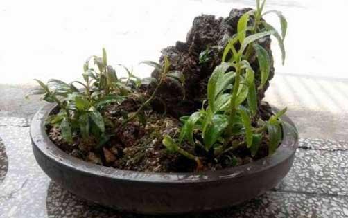 铁皮石斛盆栽图片