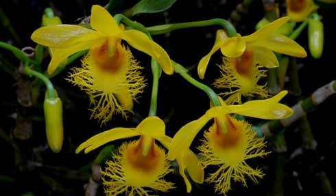 长苏石斛的花很好看