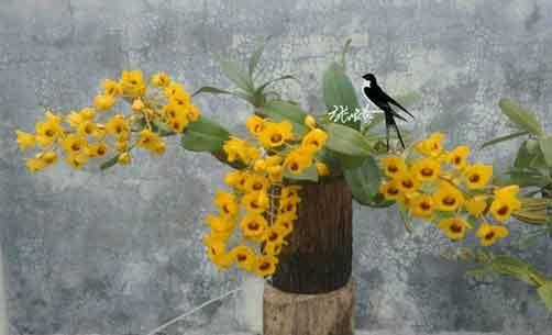野生鼓槌石斛盆栽图片