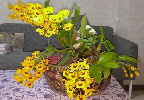 鼓槌石斛盆栽开花图片
