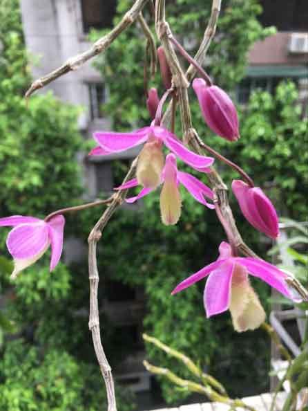 石斛花开美图