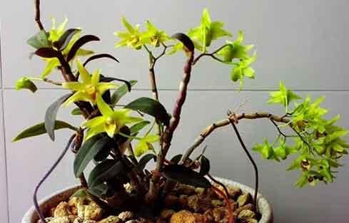 水苔种植石斛盆栽图片