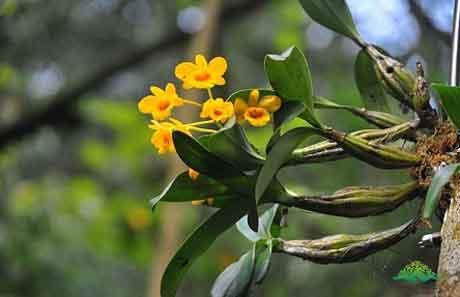 鼓槌石斛茎和花
