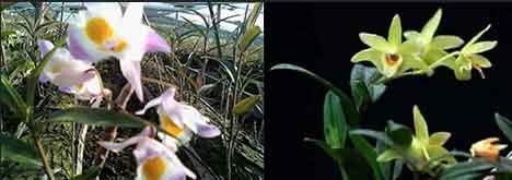 紫皮石斛(左)和铁皮石斛(右)图片对比