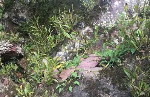 金钗石斛贴石种植法图片