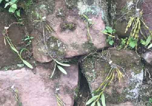 金钗石斛仿野生种植示意图