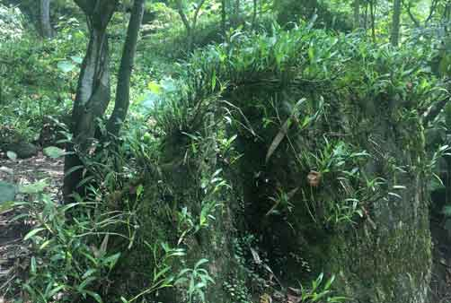 金钗石斛生长 环境