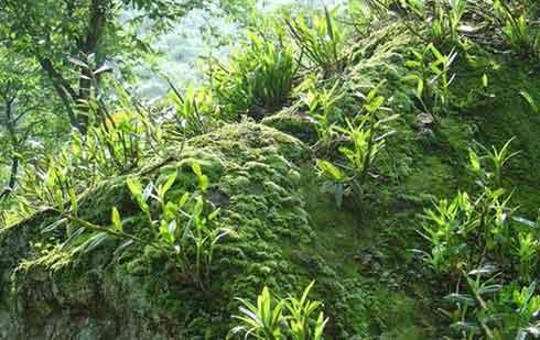 贵州赤水金钗石斛图片