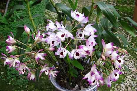金钗石斛苗种植的盆栽图片