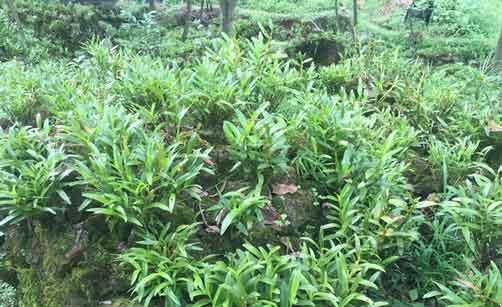 赤水金钗石斛种植图片