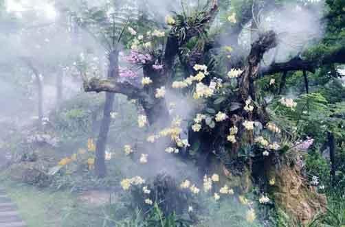 金钗石斛花开图片