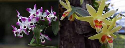 金钗石斛花(左)与铁皮石斛花(右)图片对比