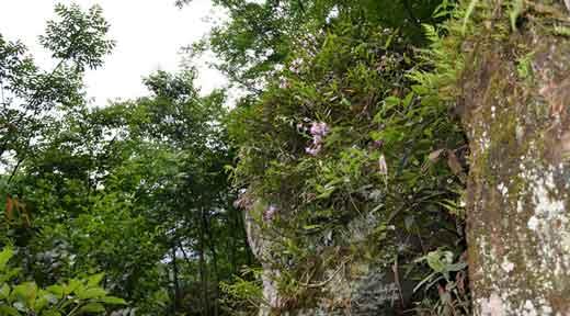 赤水金钗石斛生长环境图片