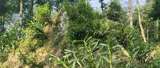 赤水金钗石斛种植环境图示