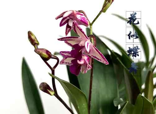 澳洲石斛盆栽图片