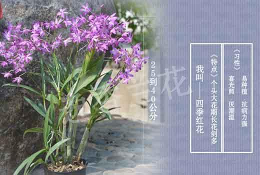 石斛兰图片