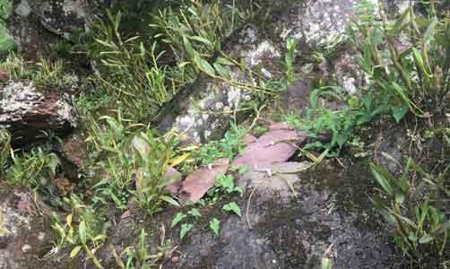 金钗石斛仿野生种植图