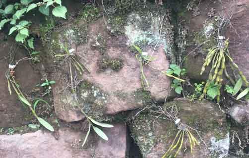 赤水金钗石斛种植图示
