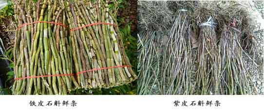 铁皮石斛鲜条与紫皮石斛鲜条对比图片