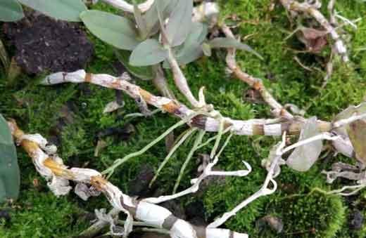 石斛腐根病导致石斛死亡图片