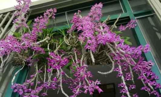 阳台种植石斛