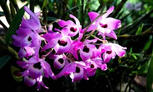 金钗石斛花
