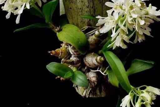 虎牙石斛图片
