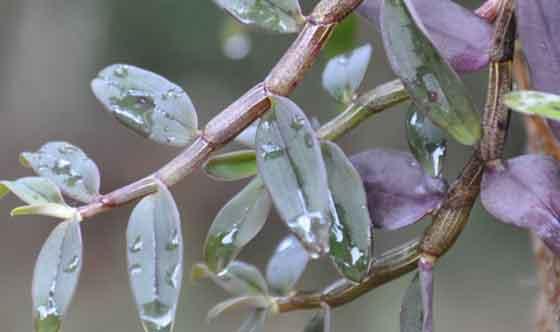 铁皮石斛也有紫皮的