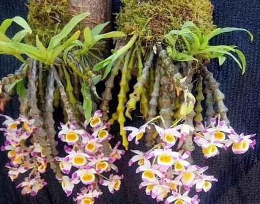 肿节石斛盆栽