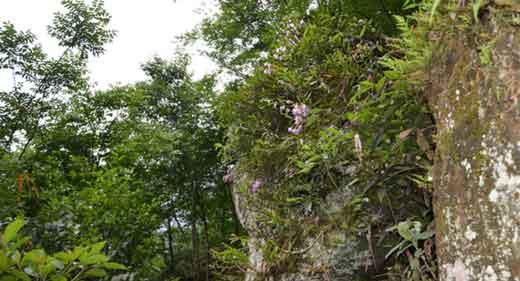 金钗石斛生长环境图片