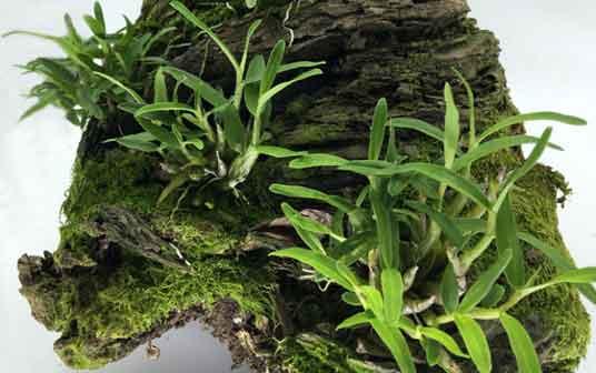 石斛兰盆栽图片