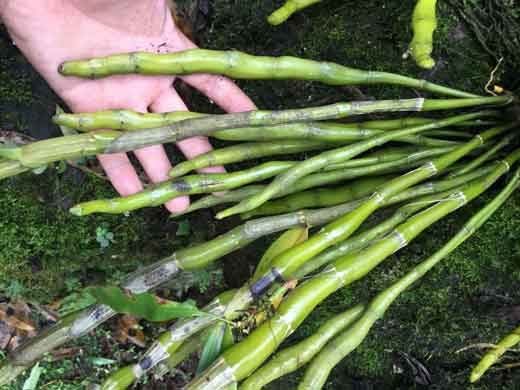 贵州产的野生金钗石斛图片