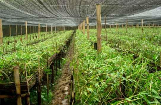 紫皮石斛种植图片