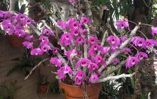 石斛盆栽开花图