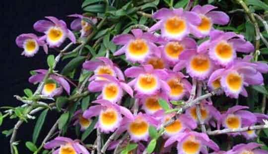 美花石斛图片