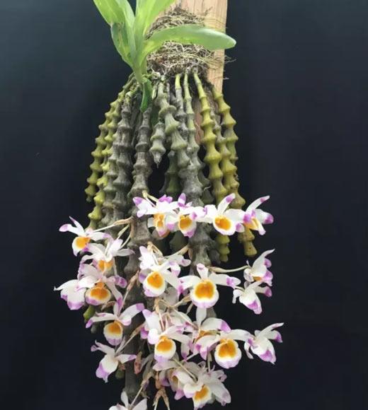板植肿节石斛图片