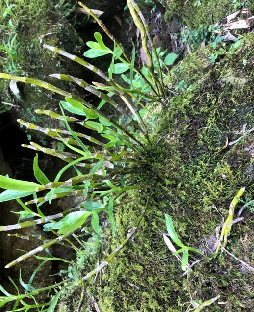 悬崖上的野生金钗石斛图片