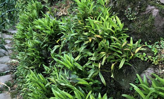 金钗石斛苗图片