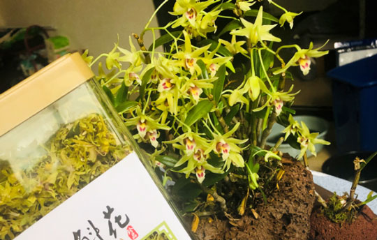 铁皮石斛的功效与花的区别