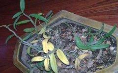 铁皮石斛发黄掉叶的原因和防治方