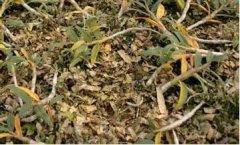 铁皮石斛盆栽叶子发黄的